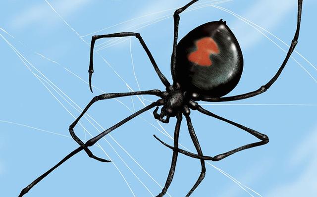 Loài nhện độc nhất thế giới