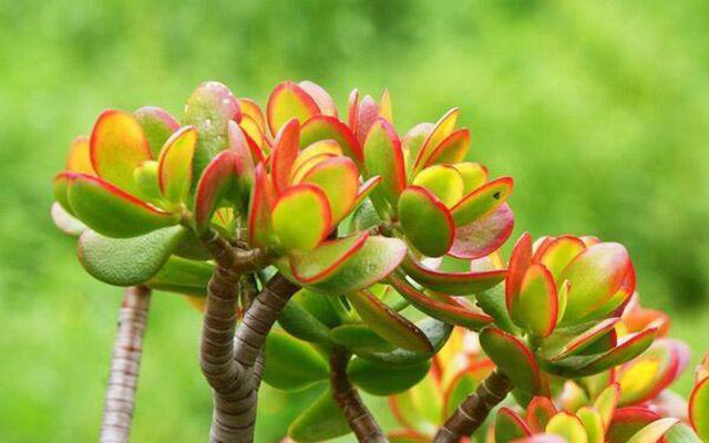Ngọc bích-loại cây cảnh mini để bàn hợp với người mệnh hỏa