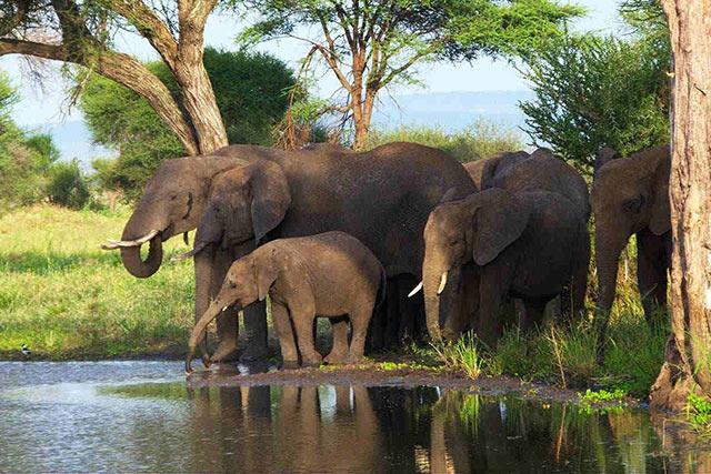 Gã khổng lồ - voi Châu Phi