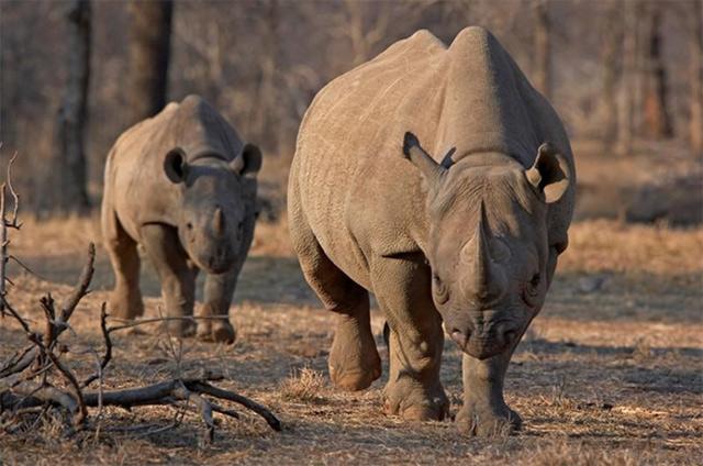 Tê giác Châu Phi hung dữ