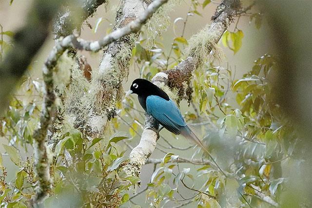 Một chú chim Thiên đường trên cành cây cao