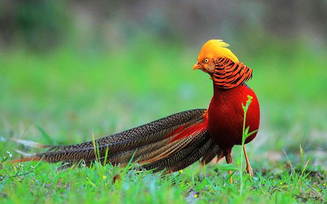 Chim Trĩ vàng khoe sắc rực rỡ