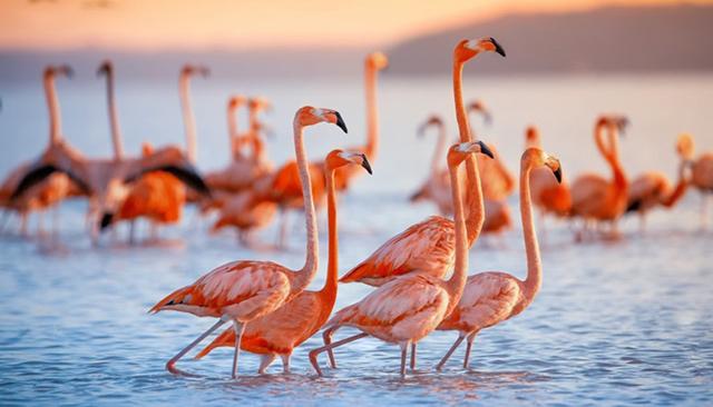 Đàn chim Hồng Hạc đang kiếm ăn