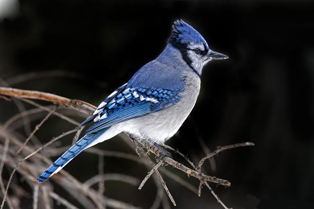 Giẻ Cùi Lam - Một trong những con chim đẹp nhất thế giới