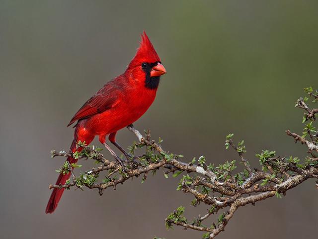 Chim Hồng y giáo chủ với bộ lông rực rỡ