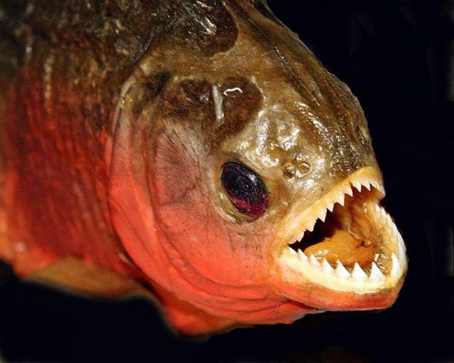 Thuỷ quái sông amazon - cá Piranha