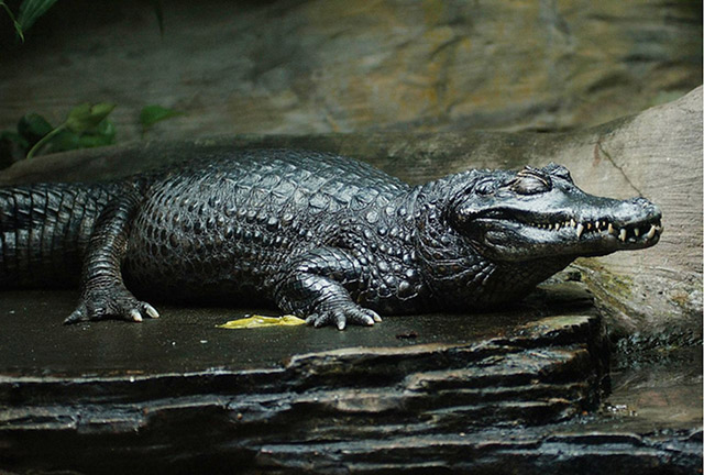 Thuỷ quái sông amazon - Cá sấu đen Caima