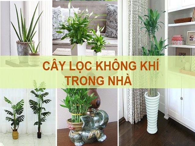 Các loại cây trồng thanh lọc không khí trong nhà