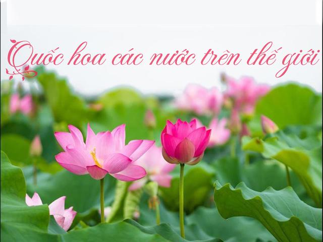 Hoa sen ăn sâu vào văn hóa người Việt