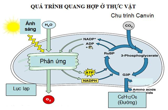 quá trình quang hợp ở thực vật C4