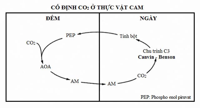 quá trình cố định CO2 ở thực vật CAM